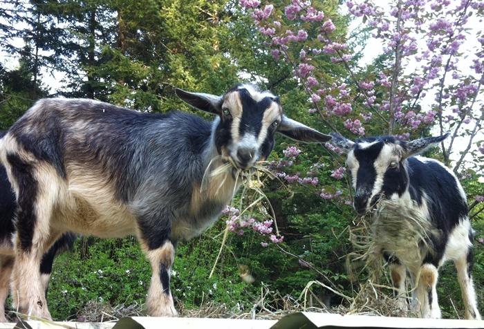 Stargrove goats